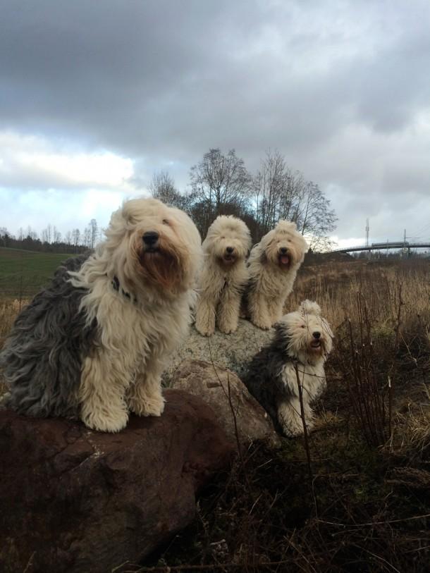 Old English Sheepdog hinder