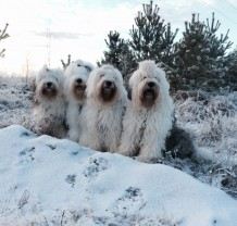 Fire Old English Sheepdogs